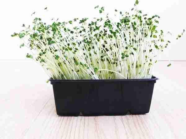 Broccoli kiemzaad