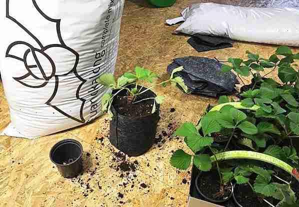 Erdbeeren in einem Growschrank anbauen