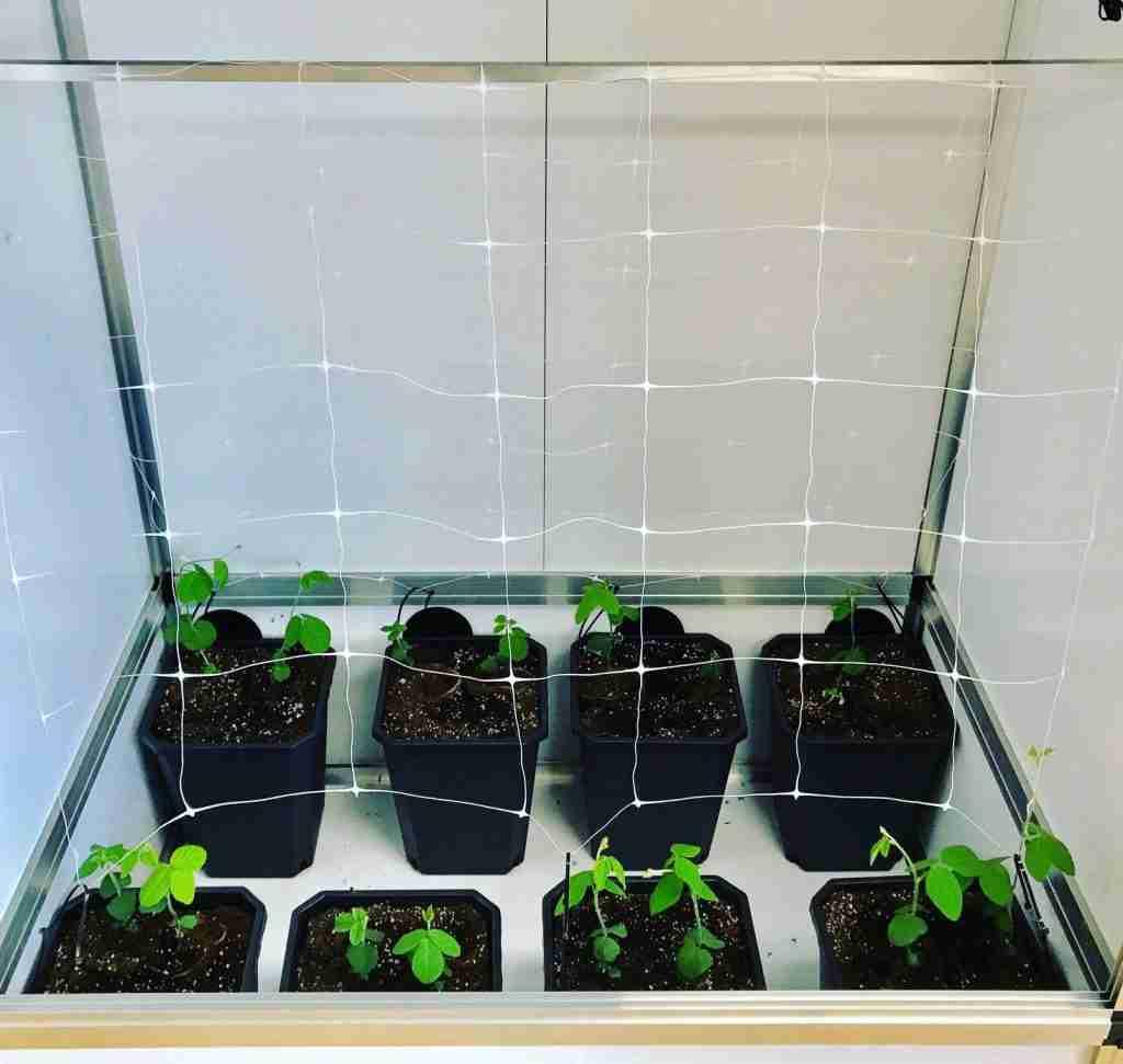 In Töpfen mit Erde züchten