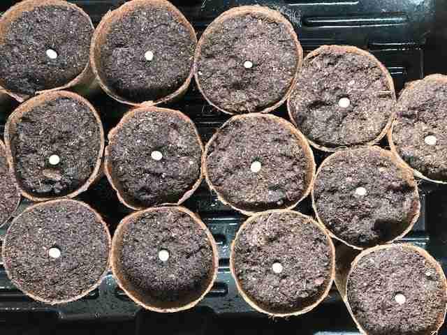 growing edamame