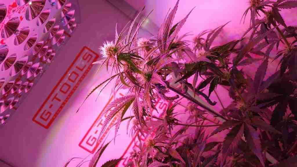medizinisches Cannabis anbauen