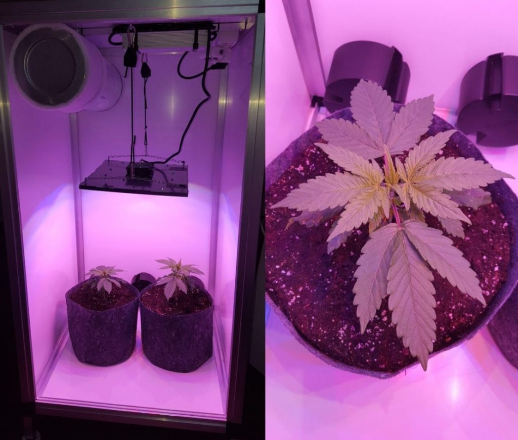 Cultiver du cannabis médical